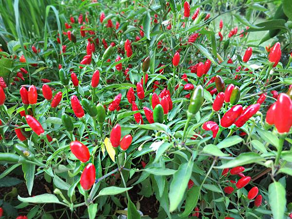 Diavolicchio-Pflanze