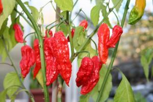 Schärfegrad-Sieger: Die Bhut Jolokia Pflanze