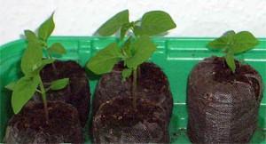 Das Umsetzetn der Pflanzen ist wichtig im Chili Anbau und sollte nicht zu früh und nicht zu spät stattfinden.
