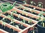 Diese Blumekästen eigenen sich gut für den Chili Anbau.