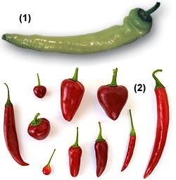 Peperoncini </br> Chili-Sorte