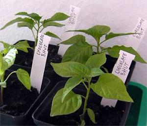 Die Kennzeichung der Chili Pflanzen erleichtert den Chili Anbau.
