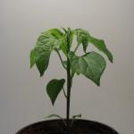 Hot Orange C.baccatum