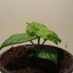 Bhut Jolokia Orange  C.chiinense
