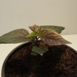 Neyde Hybrid C.chinense
