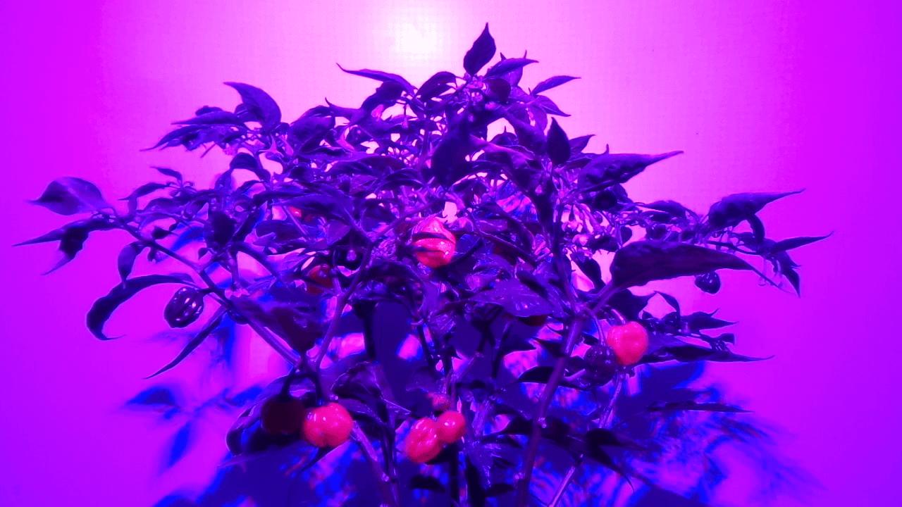 Chili Anzucht unter LED Licht