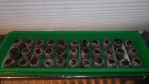 Aufgequellten mit Samenbestückte Quelltöpfe