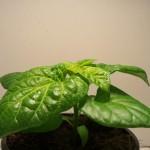 Bhut Jolokia Orange C.chinense