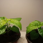 7 Pot Variante A C.chinense