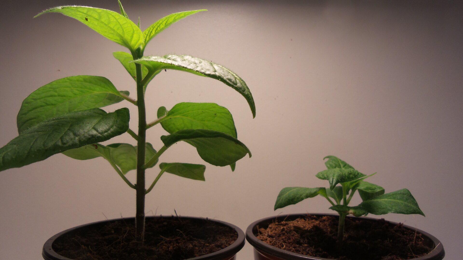 Chili LED Grow, welches</br> <em>weiße Licht</em> ist besser  ?