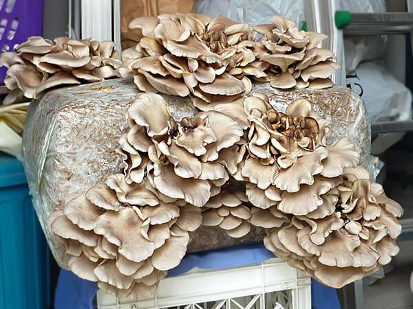oyster_mushroom_culture2