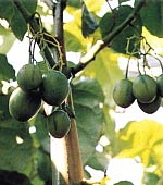 "Tamarillo (""Baumtomate""), noch grün"