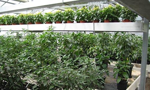 Chili-Pflanzen in Hülle und Fülle