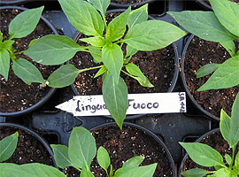Jungpflanze Lingua di Fuoco