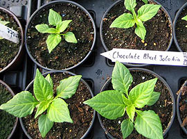 Jungpflanze Chocolate Bhut