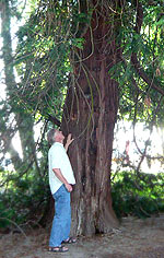 Rotzeder-Baum