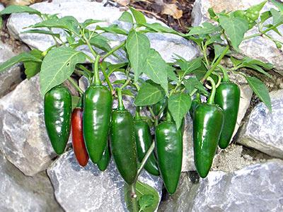 Jalapeño-Chili-Sorte