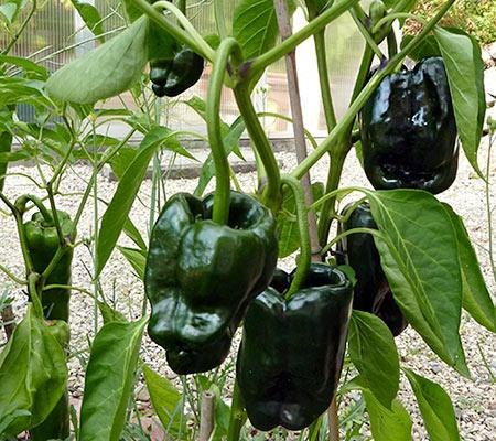 Poblano-Pflanze im heimischen Garten