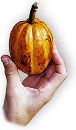 Kakao-Frucht