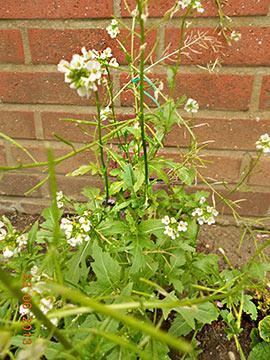 Wasabi Baumarkt-Pflanze Foto M. Braun