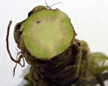 Wasabi frisch im Anschnitt