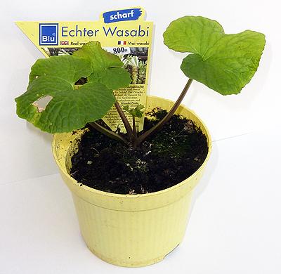 Wasabipflanze aus dem Gartenmarkt
