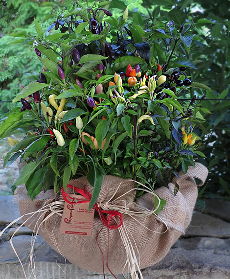 Serata del Peperoncino: Chili-Bouquet aus 35 Pflanzen