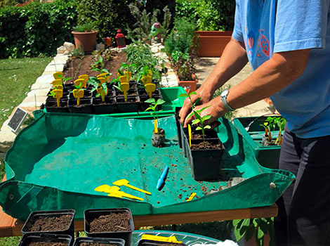 Pikieren der Chilipflanzen