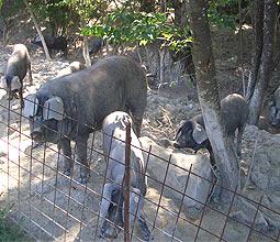 Glückliche Schwarzschweine