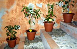 Chili-Pflanzen am Museumseingang