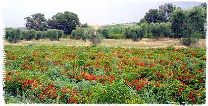Peperoncino-Feld