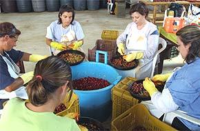 Kirsch-Chilis werden zum Füllen vorbereitet