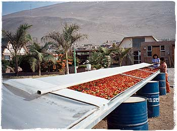 Solartrockner mit Chilis