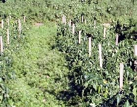 Piment-Pflanzen mit Stützpfosten
