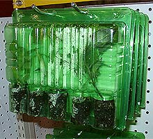 "Chile plants in plastic ""clamshell"" containers"