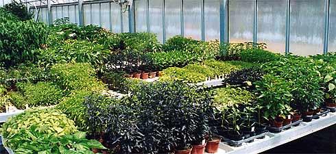 Peperoncino-Pflanzen