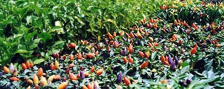 Farbenfrohe Zier-Chilis