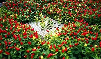 Peperoncino-Mini-Pflanzen