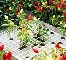 Peperoncino-Mini-Pflanzen, Detail