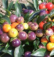 Chili-Sorte Renate