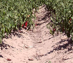 New Mexican Chilis nahe Las Cruces, New Mexico