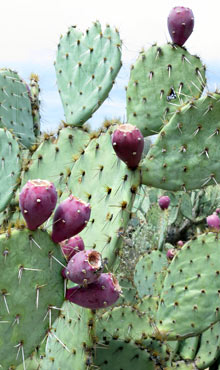 Prickly Pears (Kaktusfrüchte)