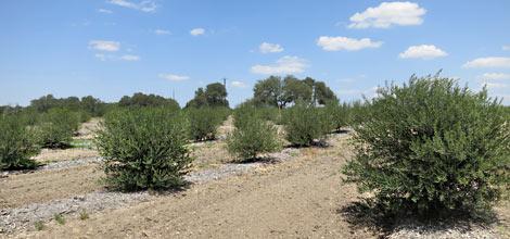Oliven-Plantage