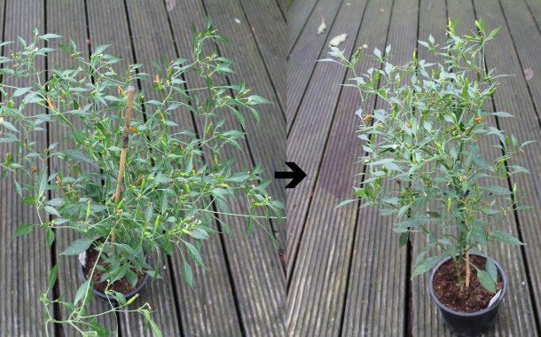 Chilipflanzen überwintern (Crash-Kurs Teil 6)