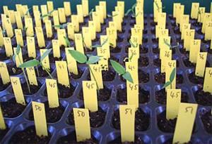 Anzuchttabletts, im Fachjargon Multitopfplatten, dienen einem kompakten Chili Anbau