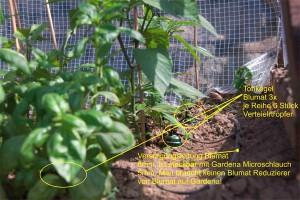 Tonkegel regeln Verteilertropfer bei der automatischen Bewässerung im Chili Gewächshaus.