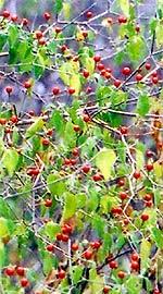 Beim Chili Anbau von Chiltepin lohnt sich das Überwintern, da sie auch mehrjährig ertragreich sind.