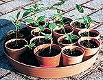Umgesetzte Chili Pflanzen im Chili Anbau Prozess