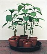 Sind die Chili Pflanzen große genug, folgt der nächste Schritt im Chili Anbau Prozess: Der Umzug nach draußen.