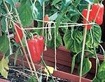 Bei schweren Früchten und zum Schutz vor Windschäden helfen ein paar Stützen und etwas Schnur beim Chili Anbau.